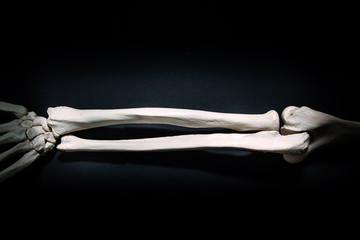 Radius and ulna human bone close up isolated on black background