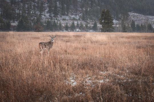 Little whitetail buck in field