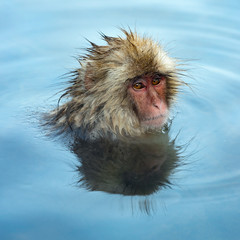 Snow monkey in the water of natural hot springs. The Japanese macaque ( Scientific name: Macaca fuscata), also known as the snow monkey. Natural habitat, winter season.