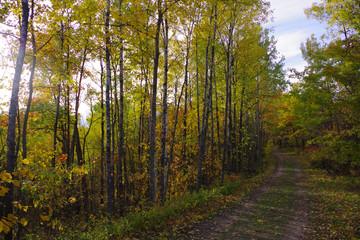 hike among the birch trees