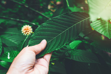 Korth Cottage Leaves (Kratom flowers) growing in nature are addictive and medical.