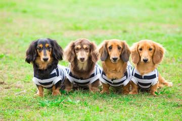 犬の集合写真(ミニチュアダックスフント)