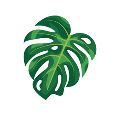 Tropical palm leaves monstera isolated on white background. Green foliage of tropical monstera tree on white background. Natural rainforest plants and houseplant, summer exotic garden.