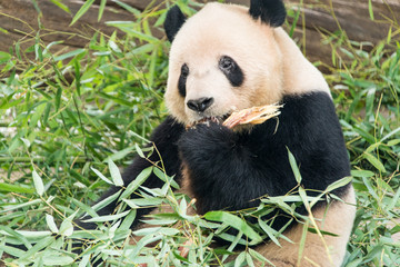Big panda, bamboo bear