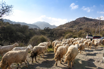 sheep feeding in mountain