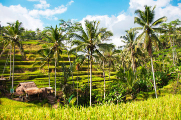 Tegallalang Rice Terraces. Ubud, Bali, Indonesia. Beautiful green rice fields, natural background. Travel concept, famous places of Bali.