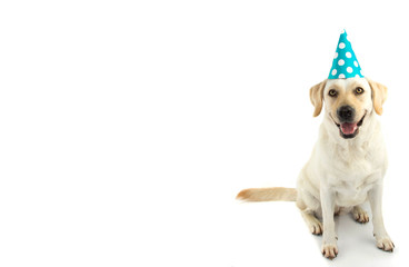 DOG BIRTHDAY OR NEW YEAR PARTY. LOVELY LABRADOR PUPPY WEARING A BLUE POLKA DOT HAT. ISOLATED STUDIO SHOT AGAINST WHITE BACKGROUND.