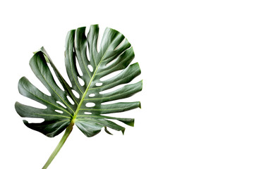 Monstera leaf isolated on white background
