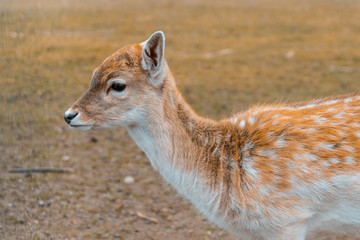 portrait of a small deer