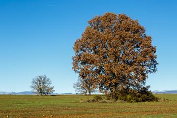 Roble melojo en otoño con hojas secas y campo sembrado de cereal. Rebollo. Quercus pyrenaica.
