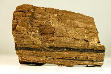 petrified wood of a sequoia tree