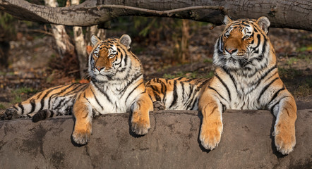 Pair of  Siberian tiger (Panthera tigris altaica)