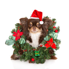 adorable chihuahua dog in Santa hat posing in Christmas wreath on white background