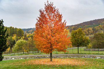 tree in autumn - orange, yellow and red colors