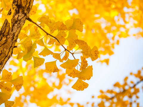 Closeup of vivid yellow ginkgo leaves with blurry background and sky in autumn season.