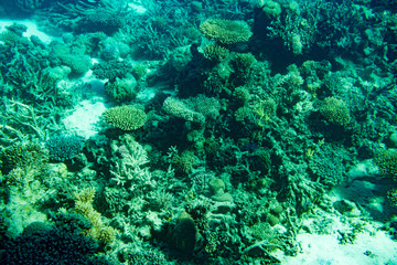 A thriving,healthy coral reef covered in hard corals, soft coral with abundant fish life. toned