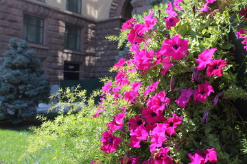 the beautiful pink summer flowers