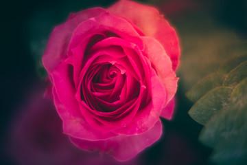 Closeup Blooming Pink roses, beautiful Pink rose with bokeh background.Roses 's symbol of love.
