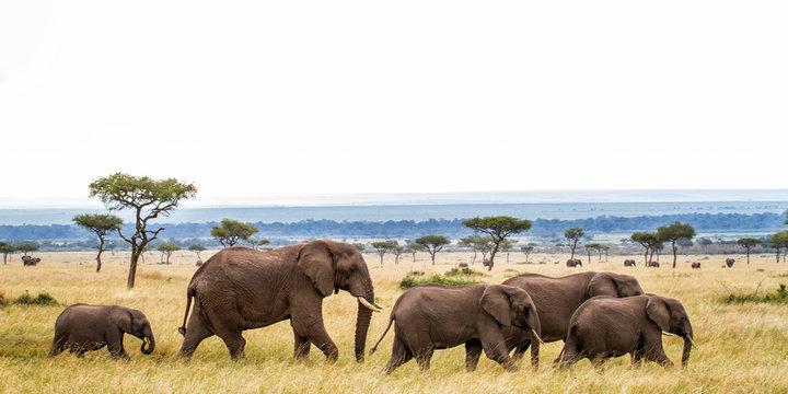 Elephant herd walking on the plains of the Masai Mara National Park in Kenya