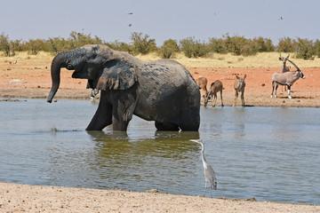 Afrikanischer Elefant (loxodonta africana) am Wasserloch Okawao im Etosha Nationalpark in Namibia