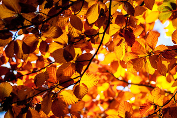 Autumn mapple leaves in the nature on trees