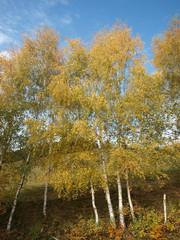 Rangée de peupliers trembles aux couleurs d'automne