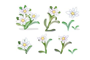 vector edelweiss flowers set