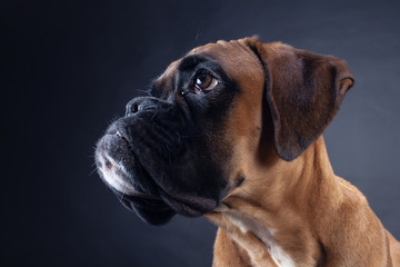 Side view on boxer dog's head.