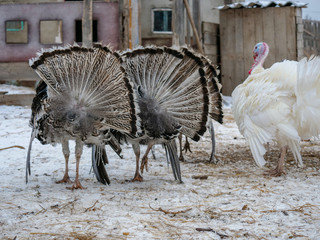 Bronze breed domestic turkeys graze on a winter yard in the countryside. Nature in the village, snow