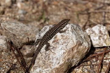 Tyrrhenian wall lizard (Podarcis tiliguerta)