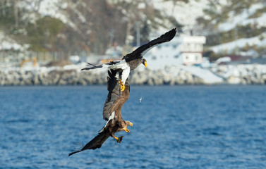 Eagles in fight. Two Adult Steller's sea eagle in fight for prey.