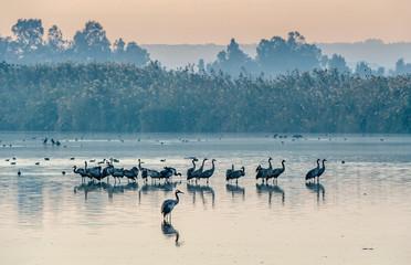Fototapeta premium Wspólne żurawie (Grus grus) stojące w wodzie. Żurawie gromadzą się nad jeziorem o wschodzie słońca. Mgła wczesnym rankiem. Rano krajobraz rezerwatu doliny Hula.