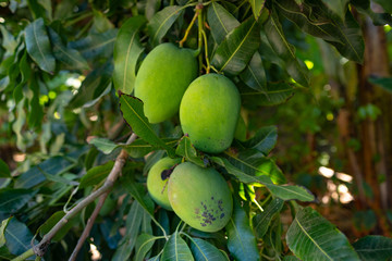Organic green mangoes on a tree  grown on Gran Canaria, Canary islands - Mangifera indica