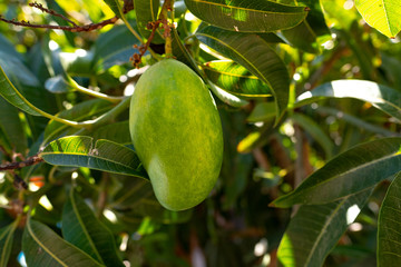 Organic green mango on a tree  grown on Gran Canaria, Canary islands - Mangifera indica