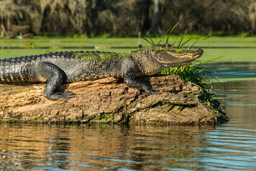 Side view of mossy alligator on driftwood in Lake Martin