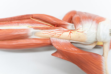 Muscles of the shoulder for anatomy education.