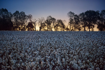 Cotton plants growing on field against sky during sunset