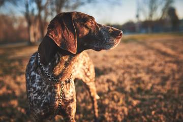 a beautiful purebred bird dog in a field