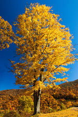Tall tree with yellow fall foliage with blue sky background
