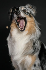 Australian Shepherd catching dog food against black background
