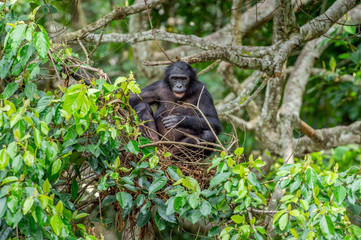 Bonobo on the tree in natural habitat. Green natural background. The Bonobo ( Pan paniscus), earlier being called  the pygmy chimpanzee. Democratic Republic of Congo. Africa