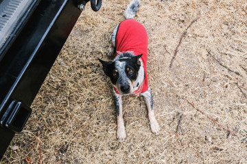High angle portrait of dog wearing red pet clothing sitting on field by vehicle