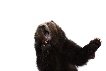 isolated black bear in white background in many posture