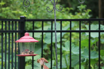 Female cardinal songbird perched on black metal garden fence and bird feeder.