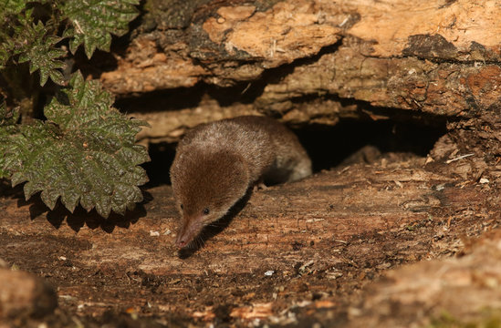 A shy and elusive Common Shrew (Sorex araneus) hunting for food in a decaying log pile in woodland.