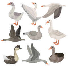 Flat vector set of large geese in different actions. Wild and farm birds. Rural animal. Wildlife theme