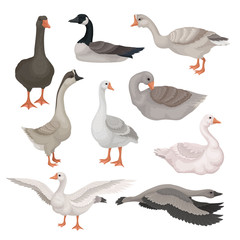 Flat vector set of gray and white geese in different actions. Wild and farm birds with long necks. Fauna theme