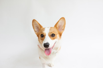 Close-up portrait of corgi sticking out tongue while standing against white background