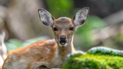 young fawn sika deer resting on mossy roots