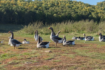 Domestic colorful geese are walking in a green meadow against the background of the autumn forest.